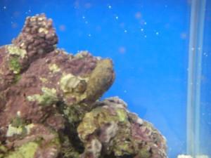 ライブロックに上っていく謎の貝