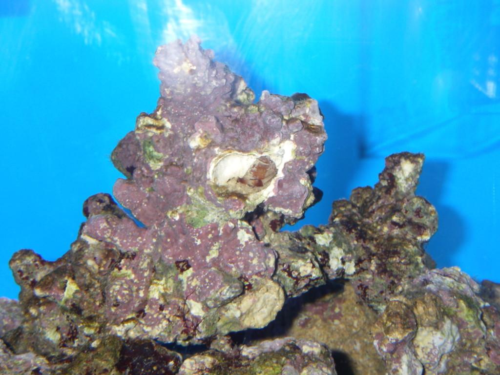 ライブロックに付着した貝が吸水管を伸ばしています