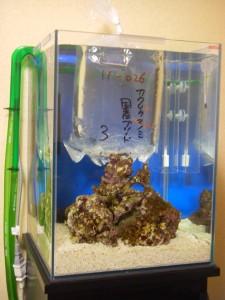 カクレクマノミ生体の温度合わせ 30cmキューブハイ水槽