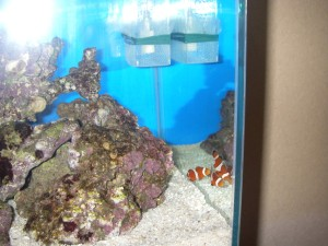 水槽に入ったばかりのカクレクマノミ3匹の様子