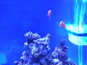 バブルストッパーの周囲を泳ぐカクレクマノミ