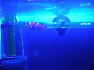 水面近くを元気に泳ぐカクレクマノミのニモ