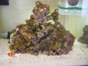 水槽立ち上げから約1カ月 茶ゴケと藻に覆われてしまったライブロック