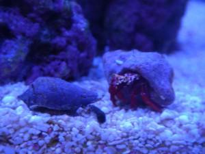 マガキ貝とスカーレットリーフハーミットクラブ