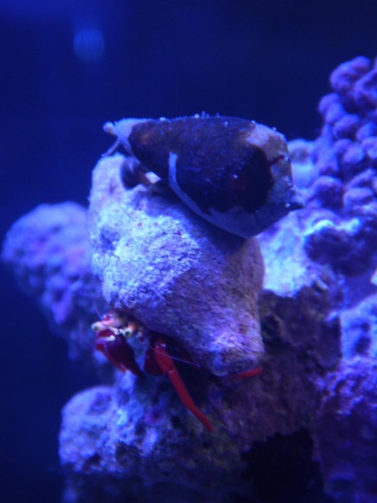 ヤドカリの貝殻に乗るのが大好きなマガキ貝