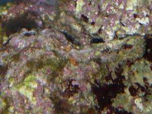 ライブロックの上にあるハナビラタカラガイの排泄物