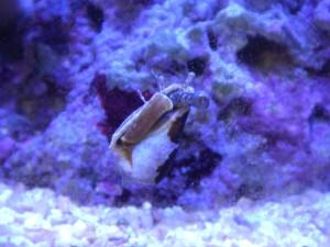 ガラス面を登るマガキ貝