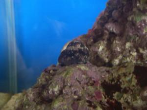 ライブロックを掃除するコイソ貝
