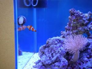 コイソ貝とカクレクマノミ