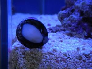 ガラス面にくっついたコイソ貝