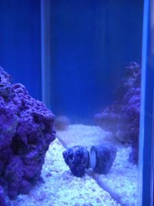 ガラス面を移動するコイソ貝