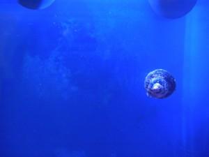 コイソ貝が掃除したガラス面