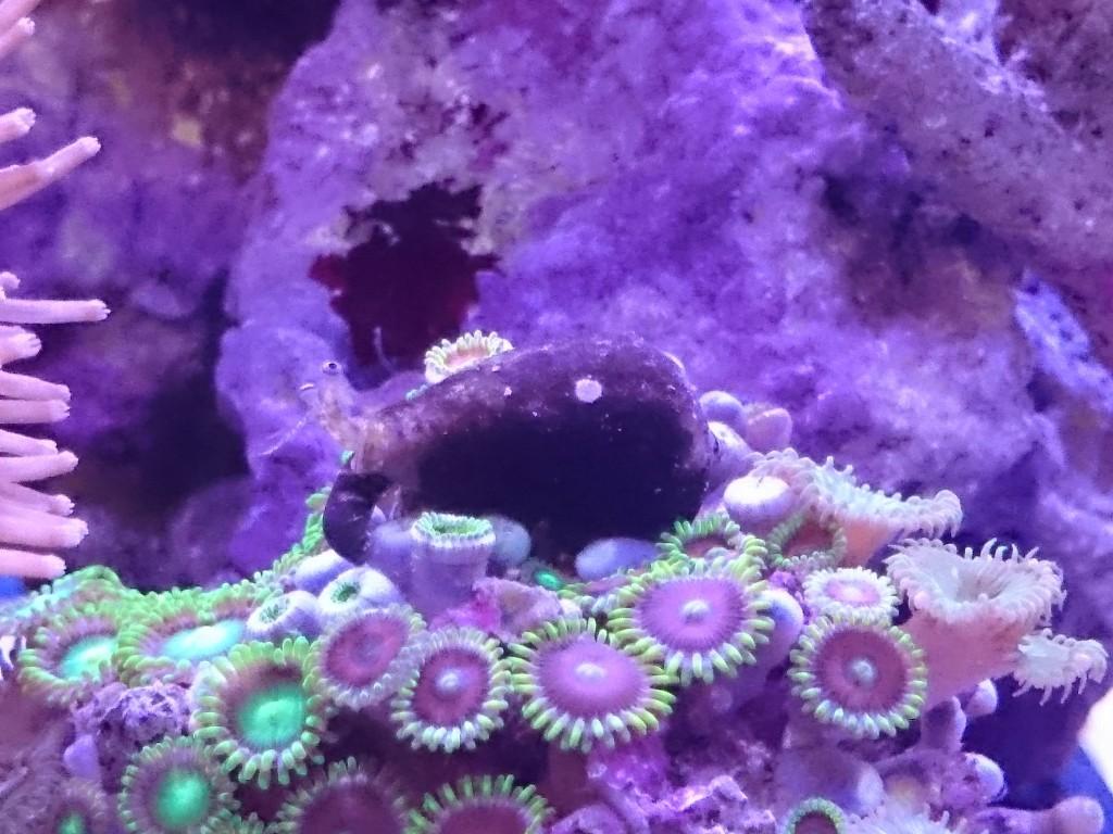 マメスナギンチャクの上に乗るマガキ貝