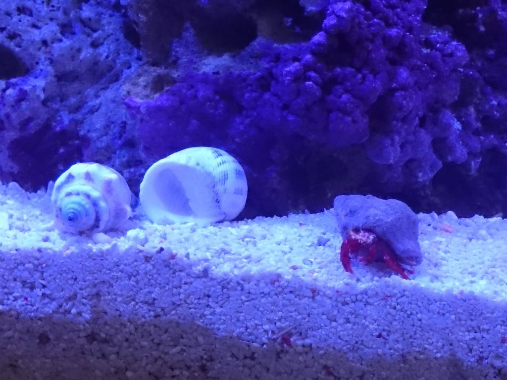 宿替え用の貝殻を発見