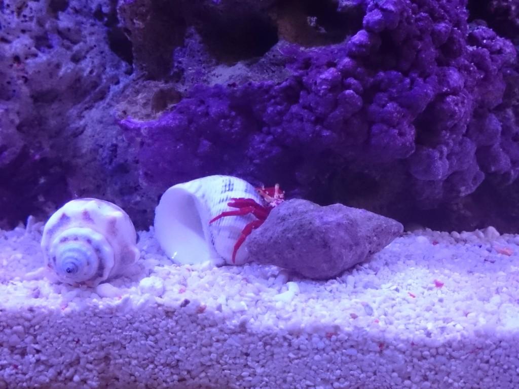 宿替え用の貝殻をチェックするスカーレットリーフハーミットクラブ