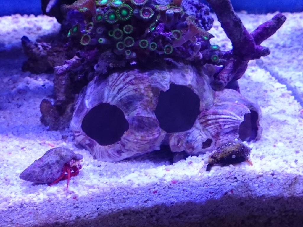 カニハゼの巣穴に近づくマガキ貝とヤドカリ