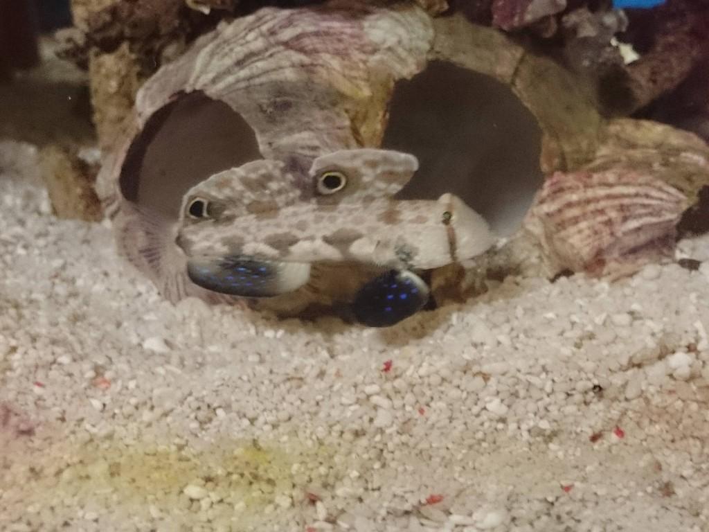 巣穴の前で佇むカニハゼ