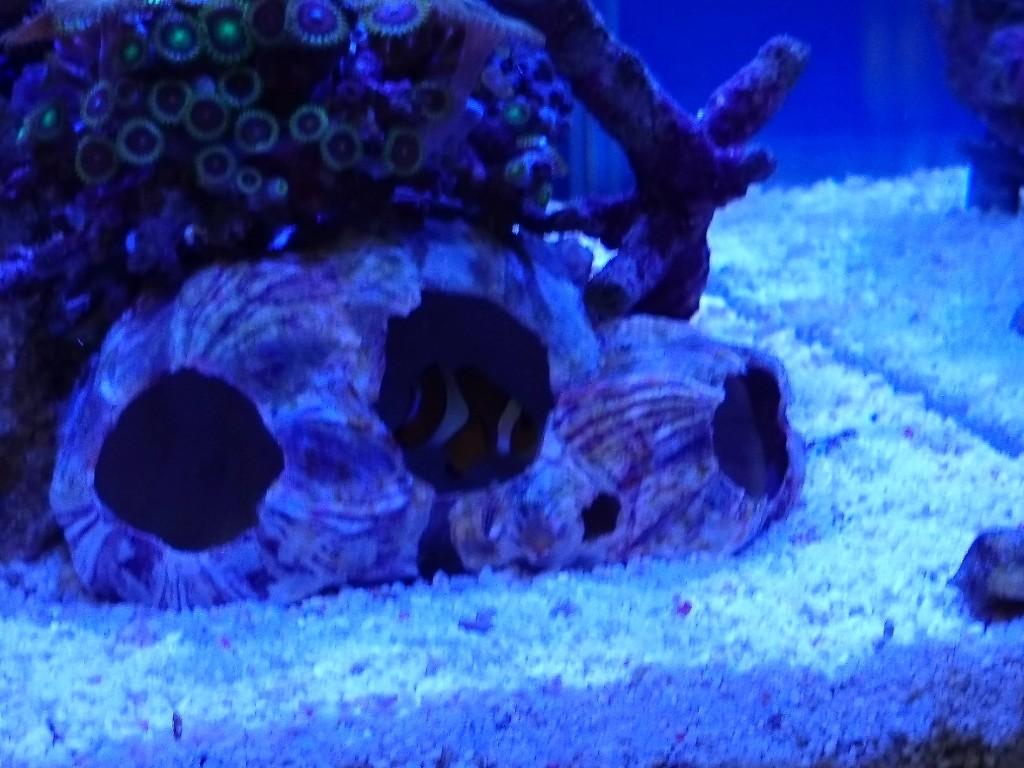 フジツボの貝殻に入るカクレクマノミ2