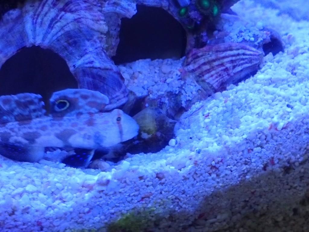 巣穴を守るカニハゼ1