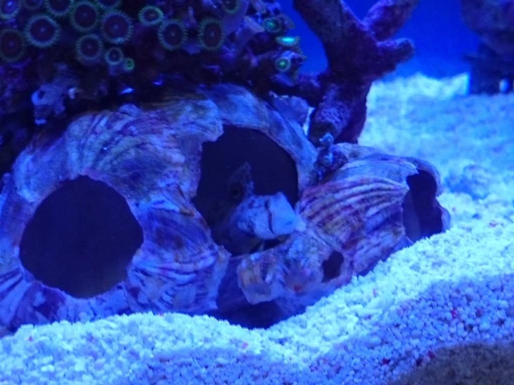 フジツボの貝殻に入るカニハゼ