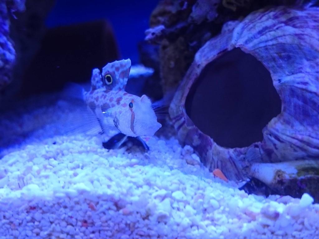 カニハゼとマガキ貝