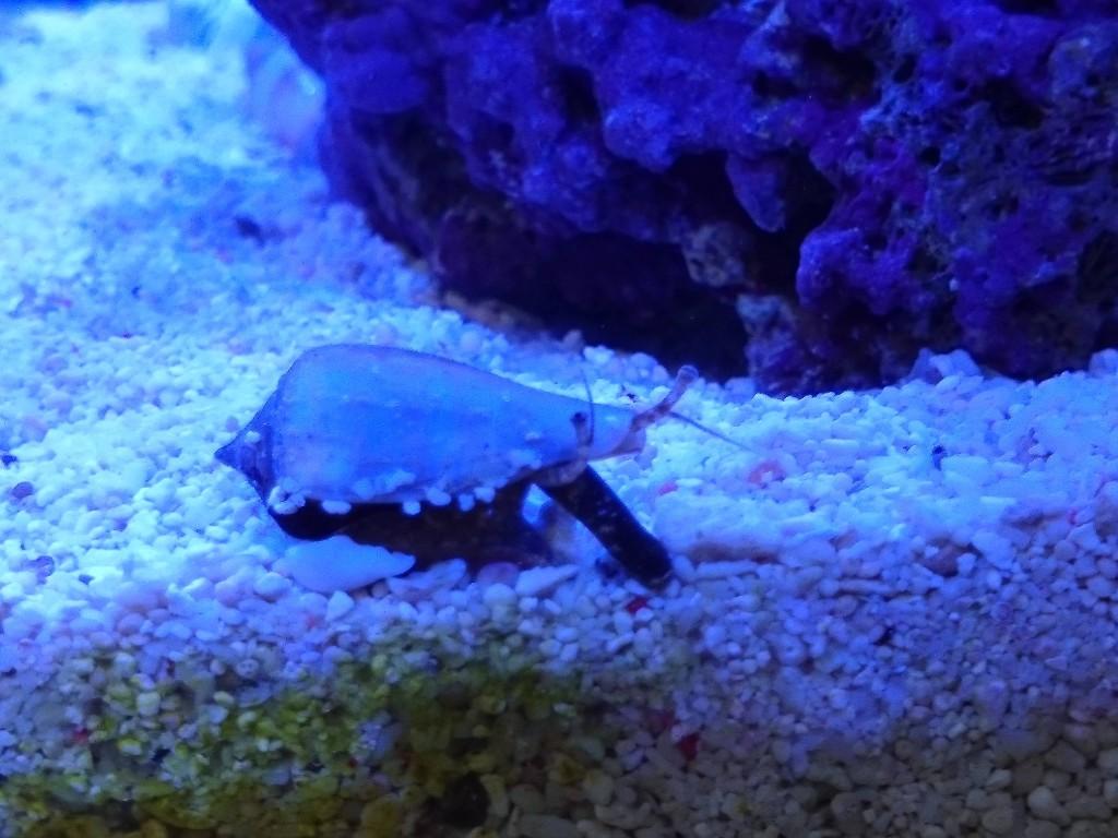 急激に成長したマガキ貝