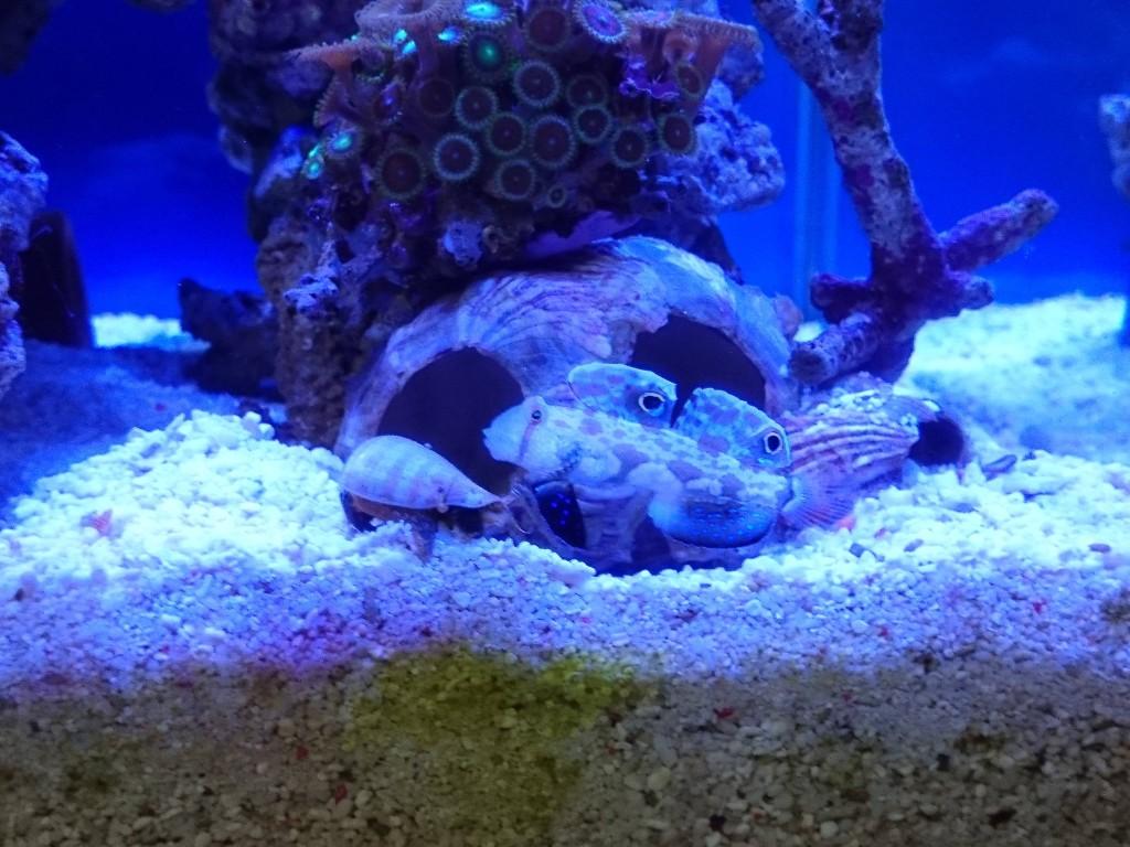 マガキ貝とカニハゼ
