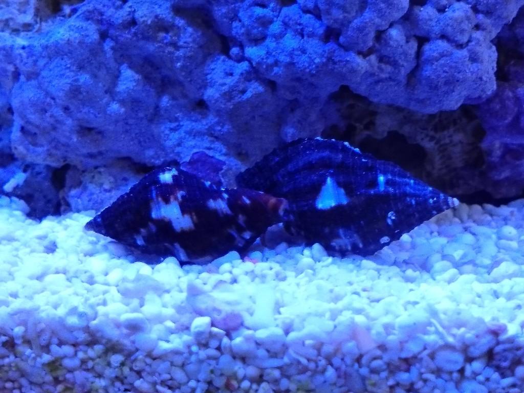 ヤドカリの貝殻 2つの大きさ比較