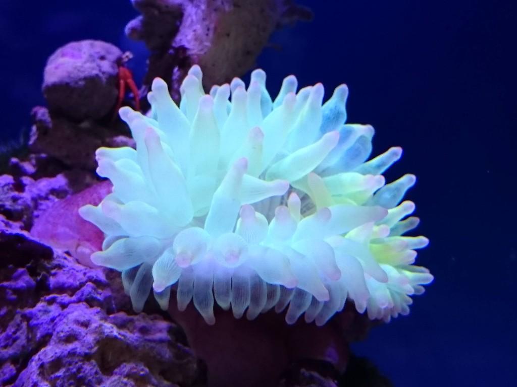 ブルーLED下のサンゴイソギンチャク蛍光イエロー