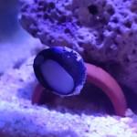 シッタカ貝