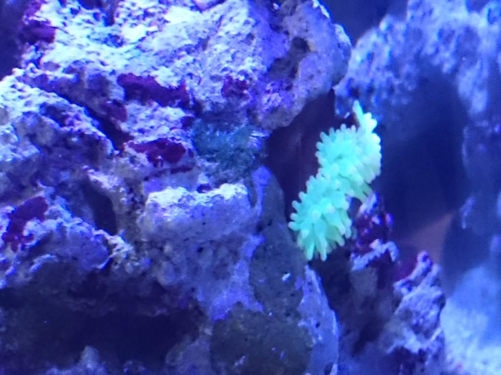 岩の隙間に活着したサンゴイソギンチャク蛍光イエロー