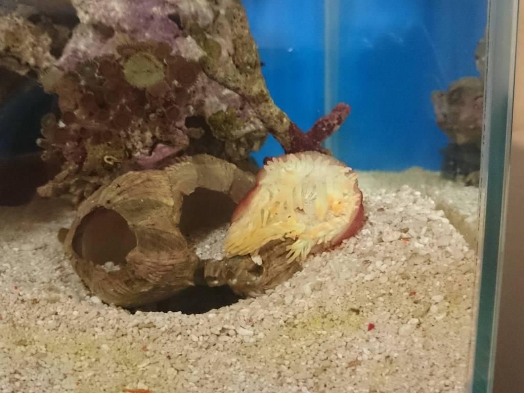 移動した珊瑚イソギンチャク