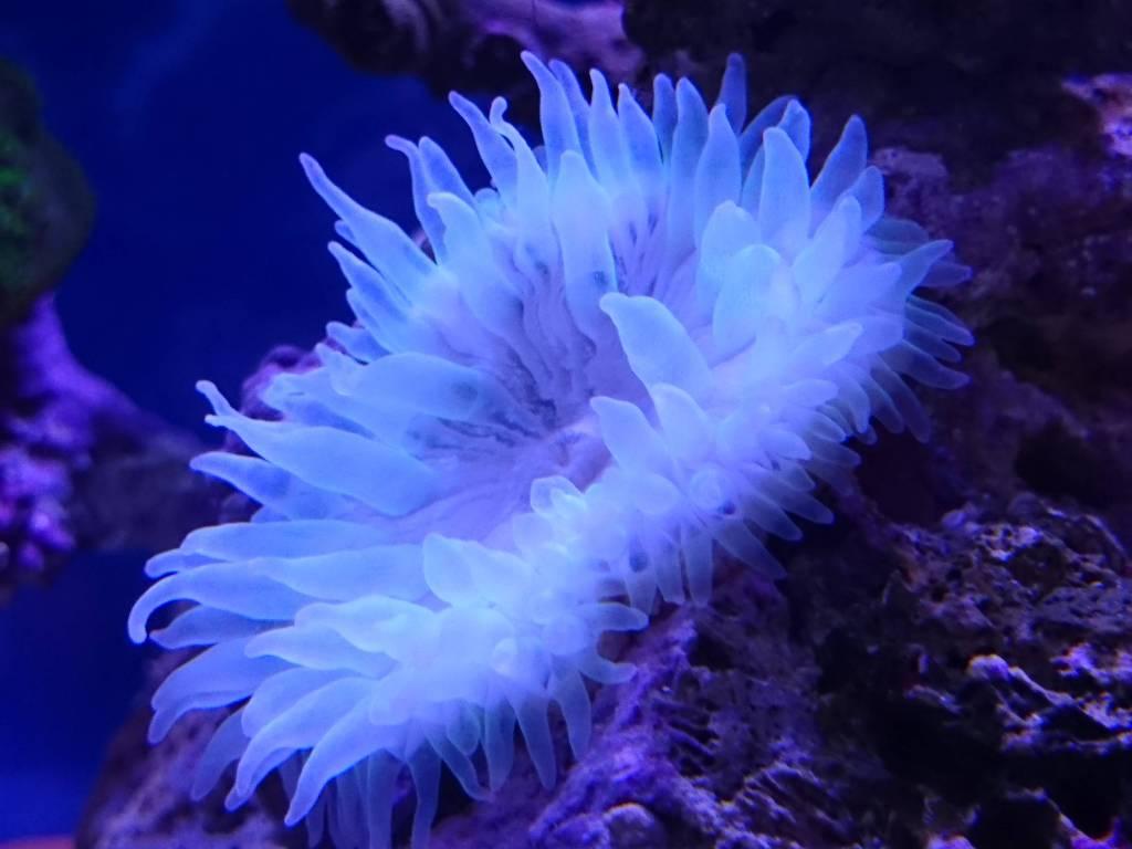 強光阻害後 復活しつつあるサンゴイソギンチャク蛍光イエロー