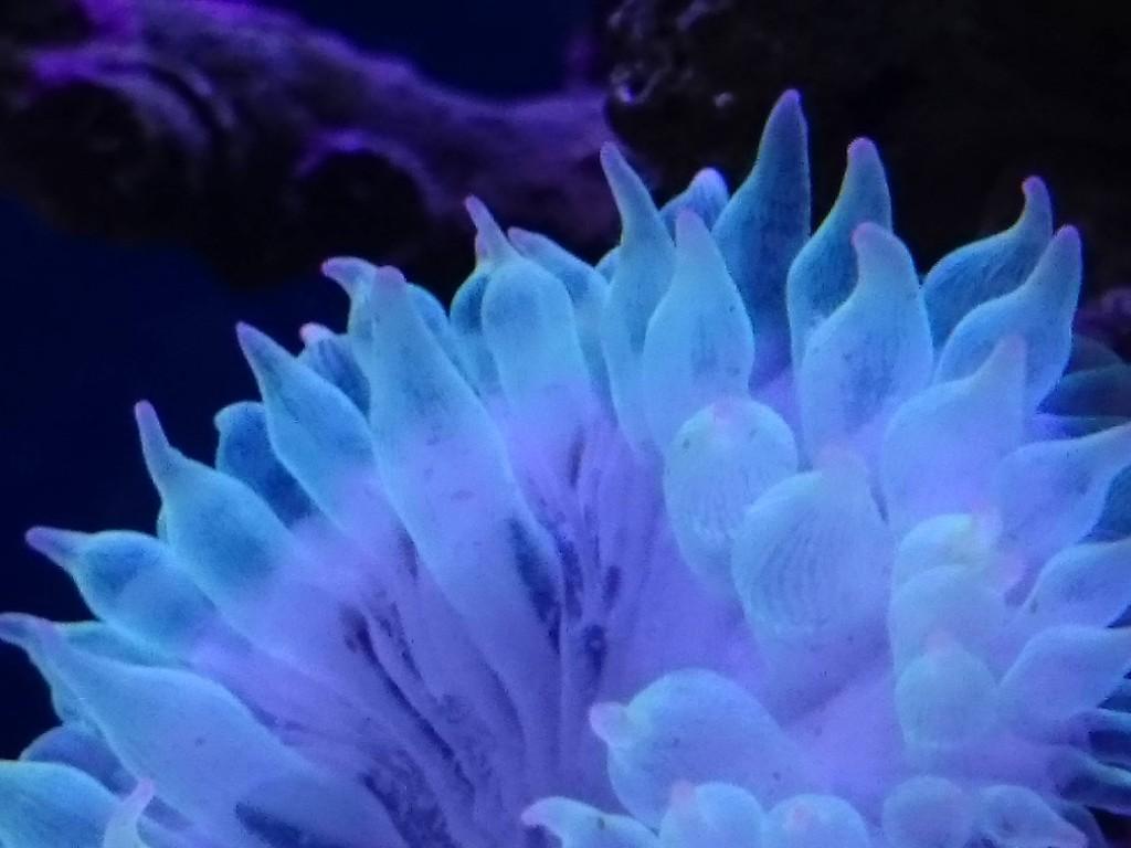 サンゴイソギンチャク 触手のアップ