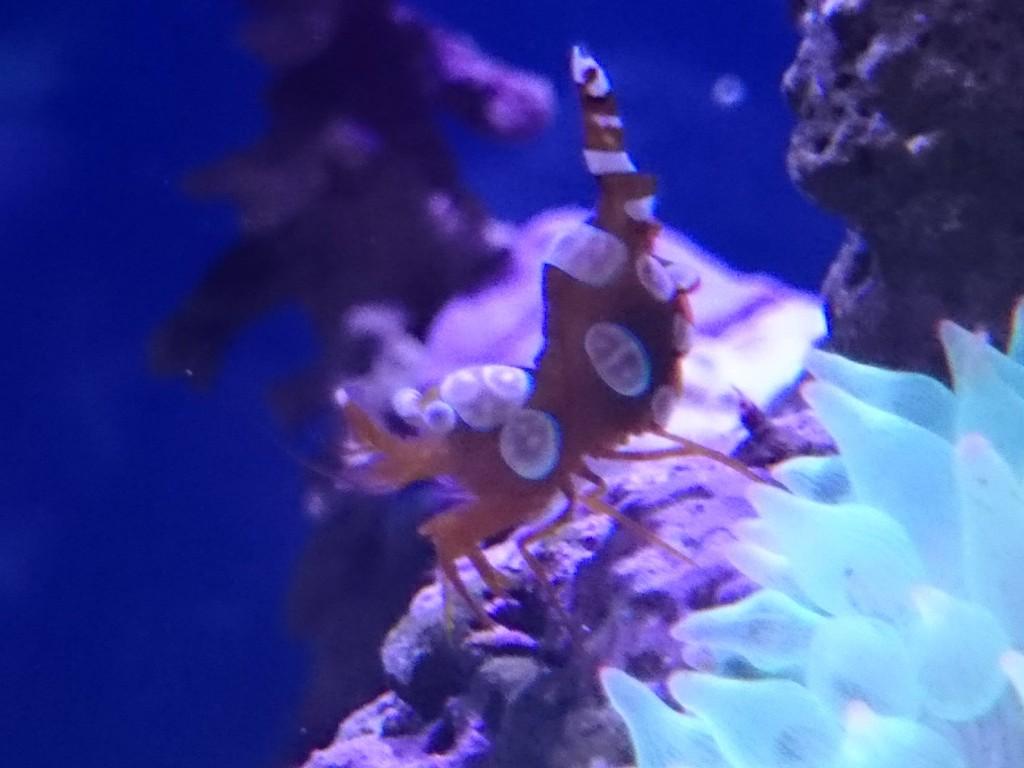 抱卵したイソギンチャクモエビのメス