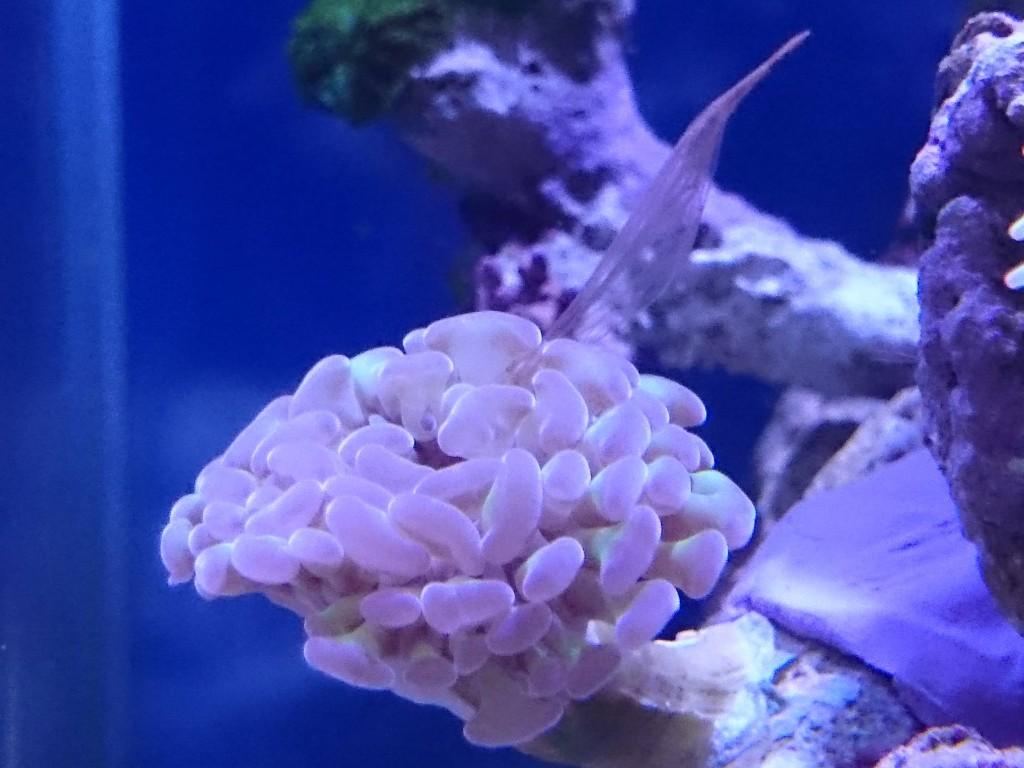 ナガレハナサンゴが吐いた褐虫藻?