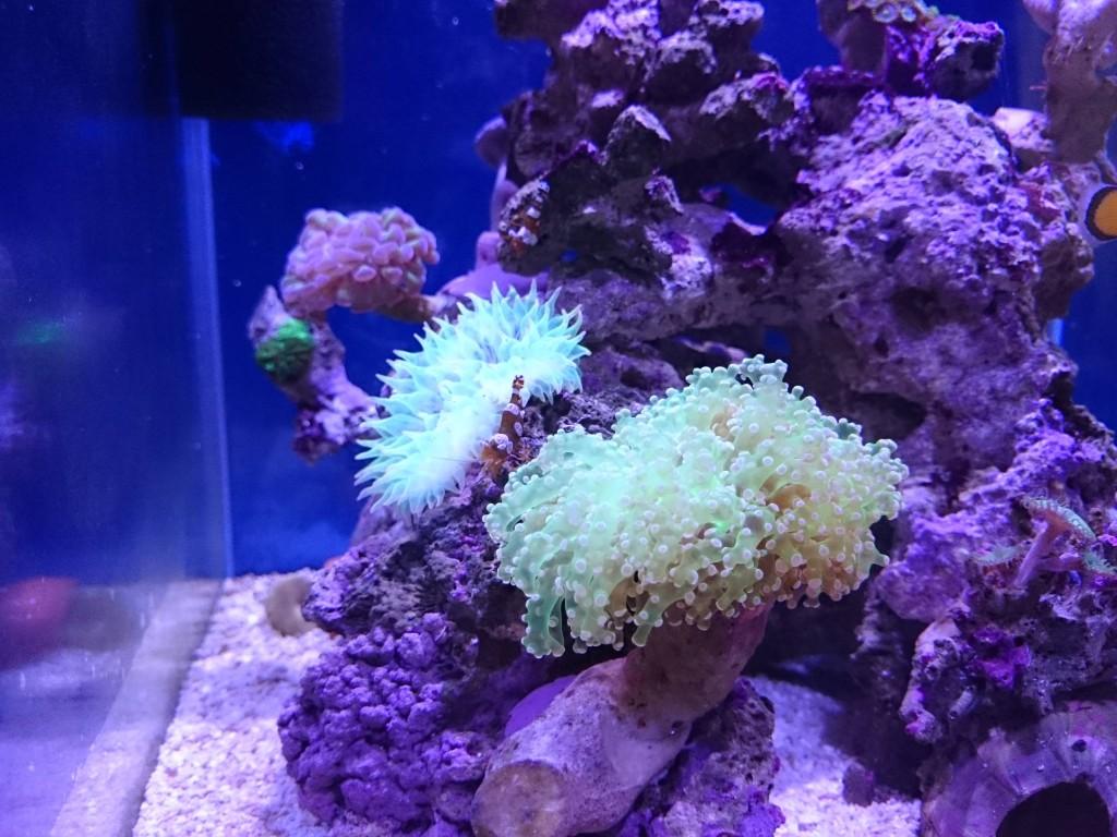 配置変更後のナガレハナサンゴ