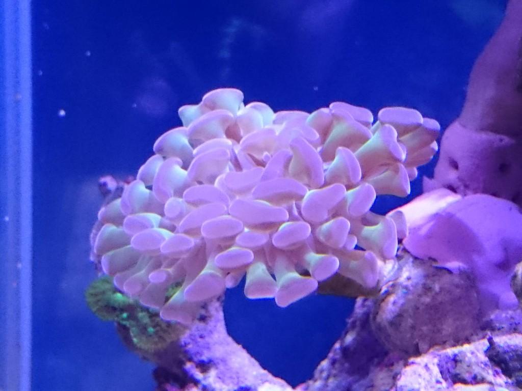 ナガレハナサンゴの触手 成長中