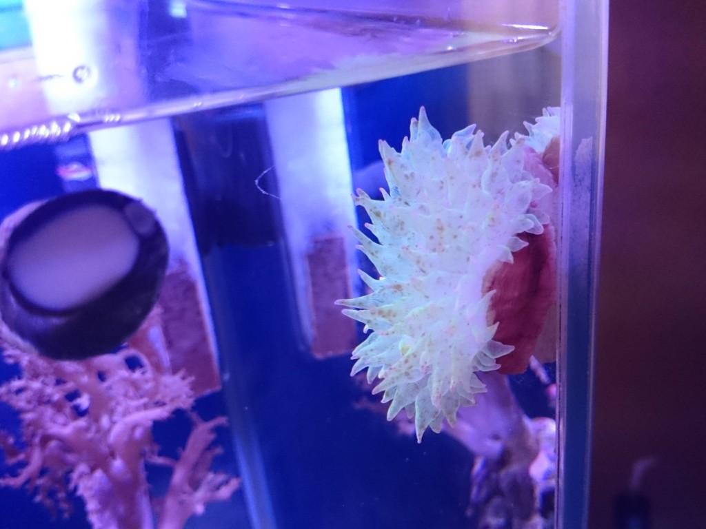 ガラス面に活着したサンゴイソギンチャク
