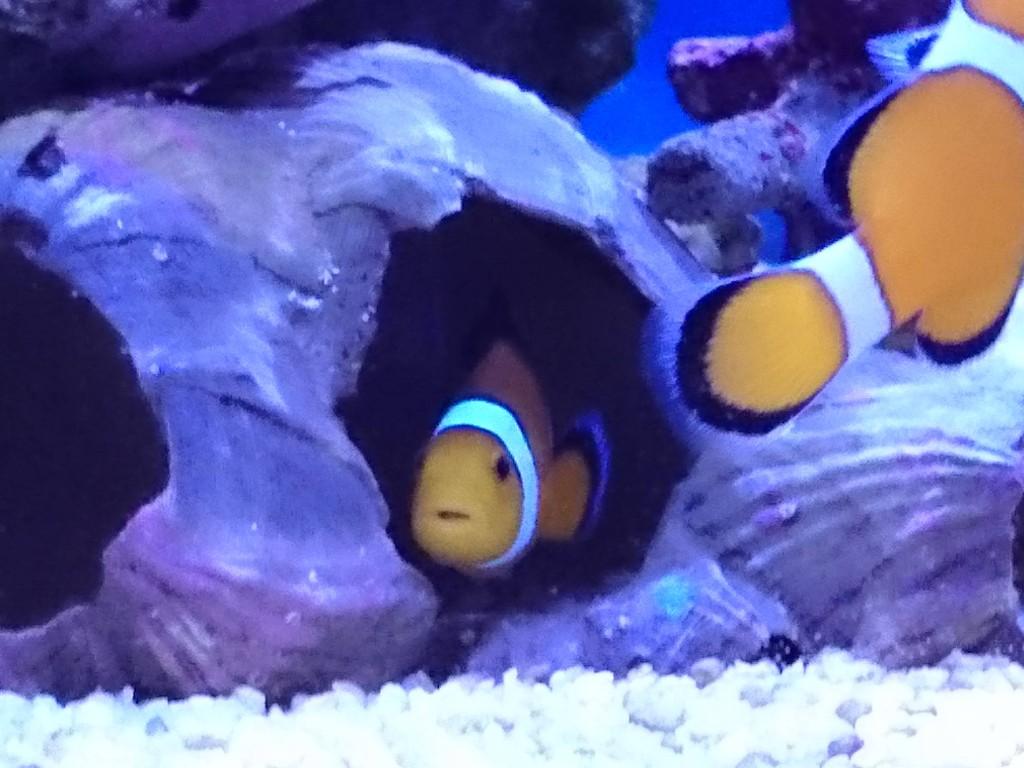 フジツボの殻に入るカクレクマノミ
