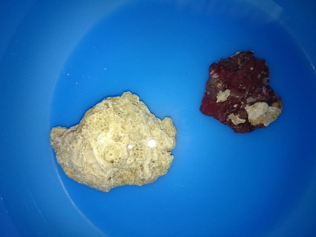スターポリプをサンゴ片に固定