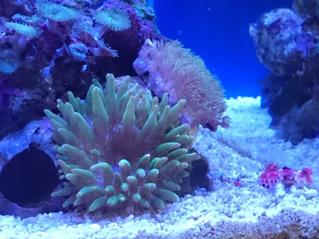 サンゴイソギンチャクと接触したスターポリプ