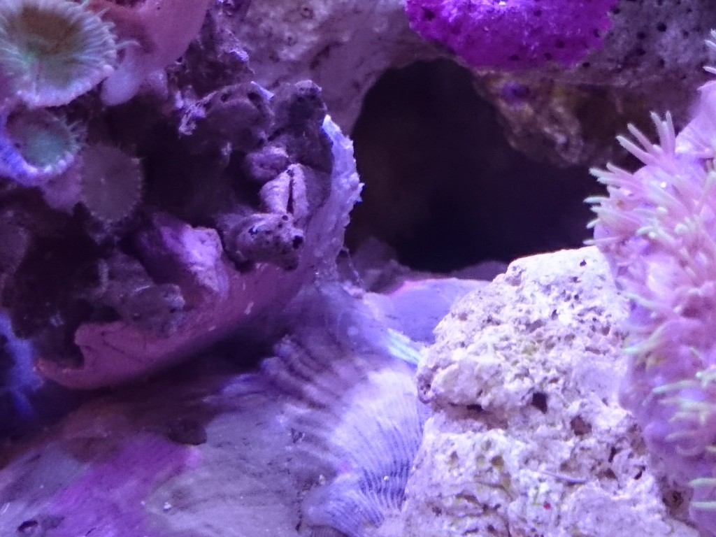 マメスナスターポリプを溶かす謎のアメーバ状生物が復活