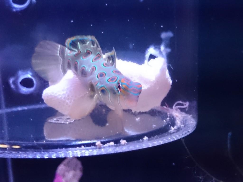 コチラを見ながら餌に近づくスポッテッドマンダリン1