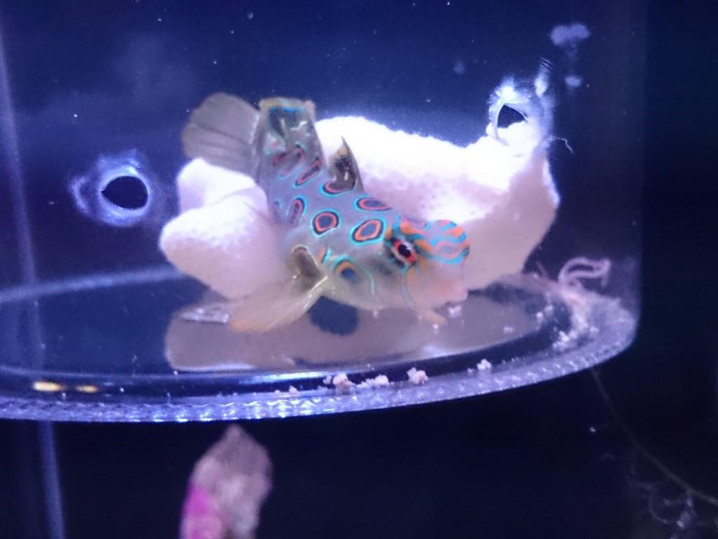 コチラを見ながら餌に近づくスポッテッドマンダリン2
