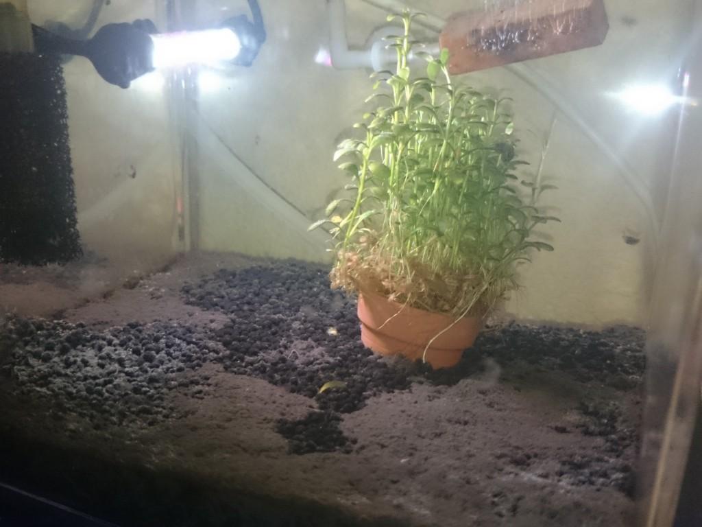 鉢植えのグロッソ