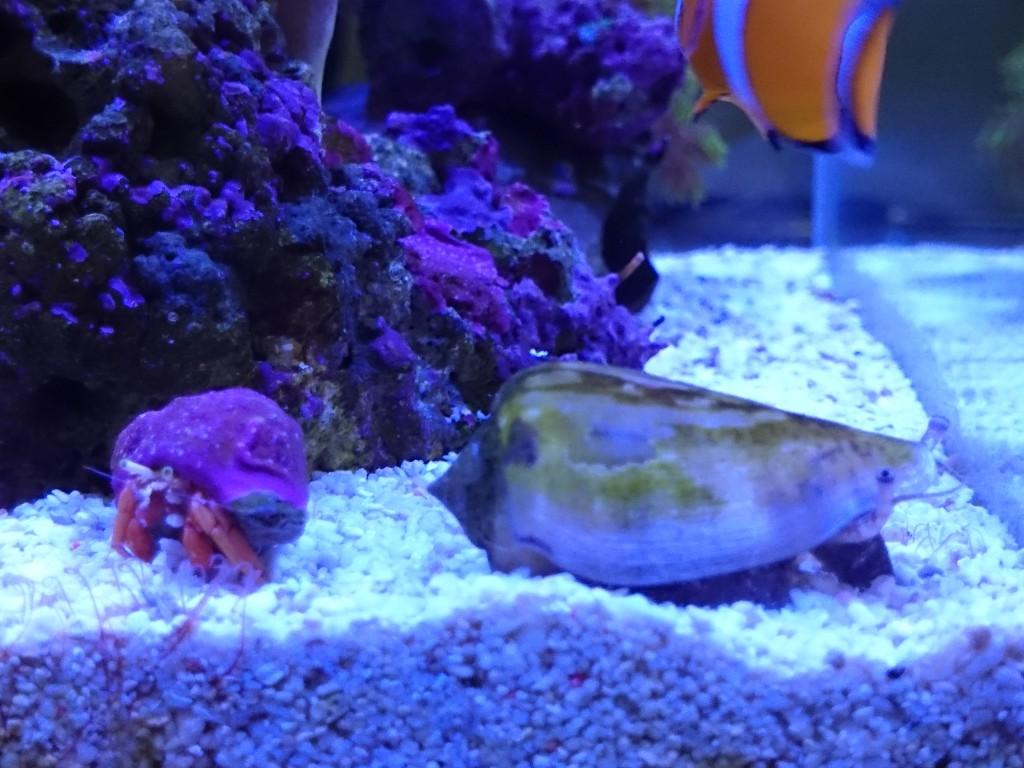 1年以上飼育して成長したマガキ貝