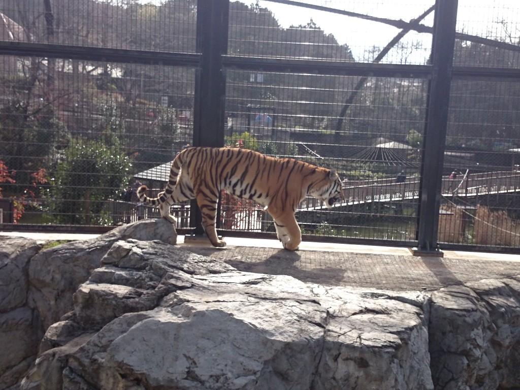 朝日のしたの虎