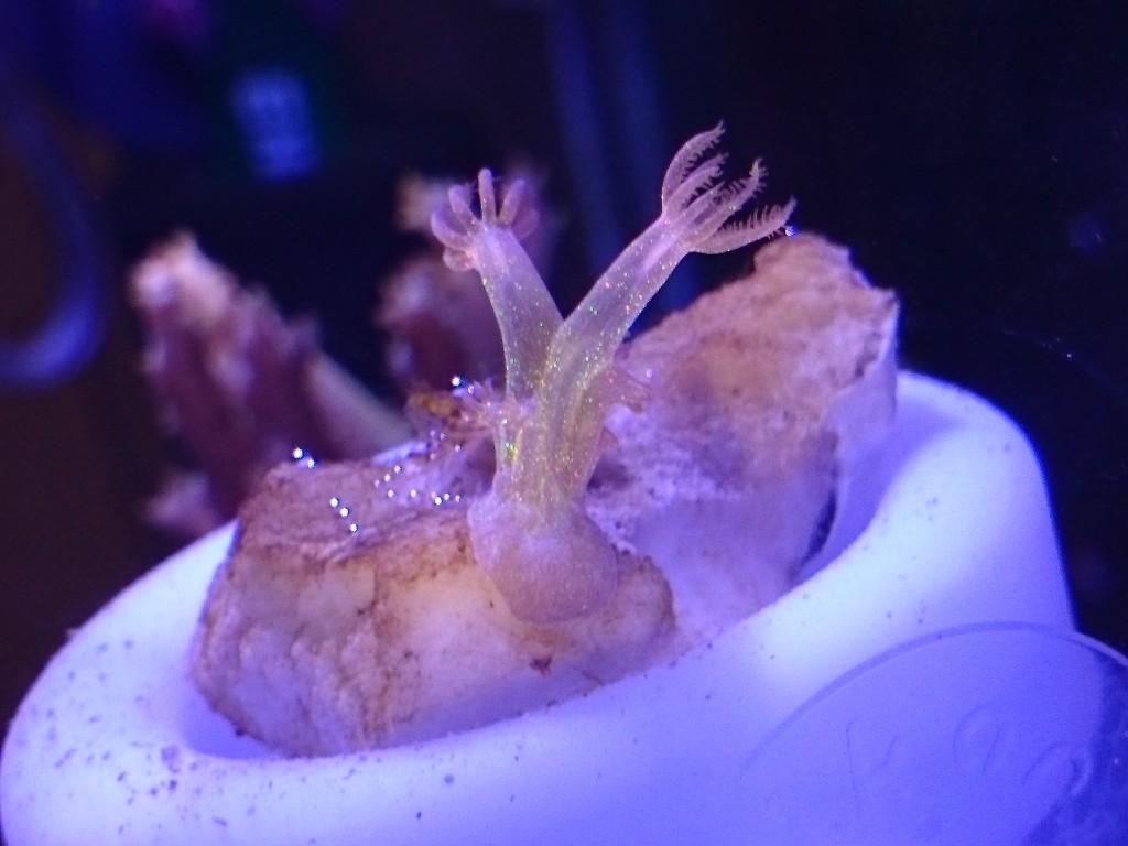 タチエダウミアザミのラメラメ