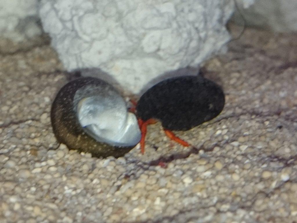 ルチルスハーミットクラブ 宿替え貝殻物色中
